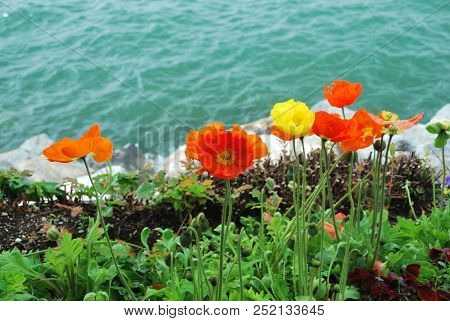 Poppy Flowers On The Lake Shore In Montreux Park, Switzerland