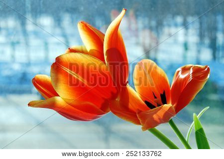 Tulips Against A Blurred Background, Omsk Region, Siberia, Russia