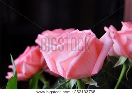 Pink Roses On A Black Background, Omsk Region, Russia