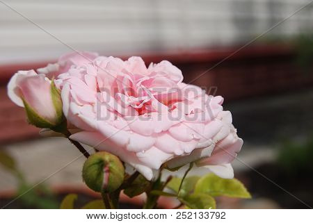 Rose With Drop Of Rain. Omsk Region, Siberia, Russia