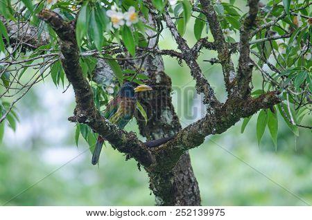 Great Barbet (megalaima Virens) Bird