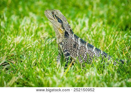 Female Australian Water Dragon Intellagama Lesueurii In Australia