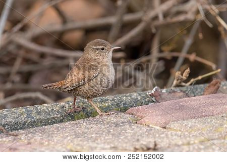 Eurasian Wren (troglodytes Troglodytes) With Brown Blurred Background. Small Stump-tailed Songbird.