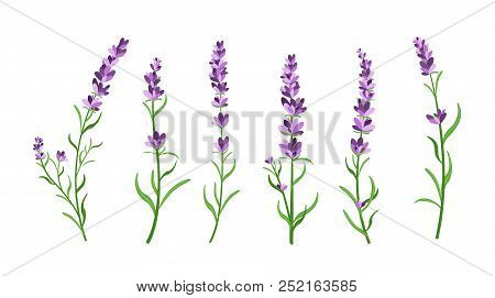 Vector Illustration Set Of Lavender Flowers Elements. Botanical Illustrations Of Lavender Branches I