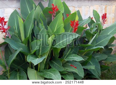 Canna(plant) ,ornamental Plant. A Flower Plant That Originates From Tropical And Subtropical Regions