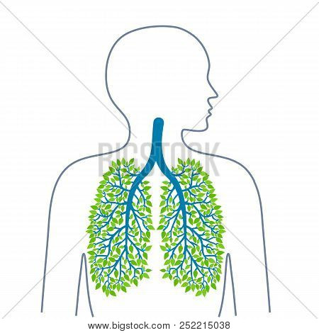 Human Lungs. Healthy Clean Lungs. Bronchial Tree.human Lungs. Healthy Clean Lungs. Bronchial Tree. E