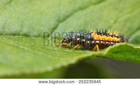 Hiding Hunter - Ladybird Larva