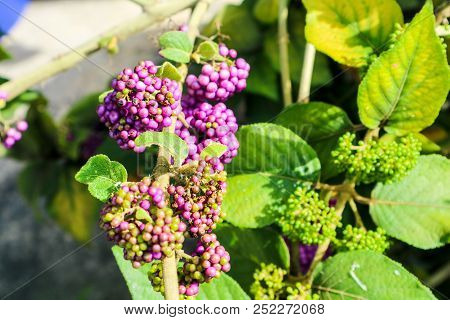 Beautyberry Is A Genus Of Shrubs And Small Trees