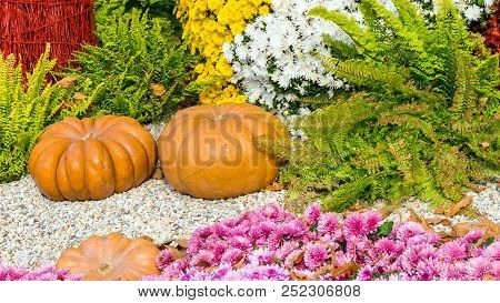 Fresh Orange Pumpkins And Chrysanthemums In Autumn Garden. Fall Garden, Park With Decorative Pumpkin