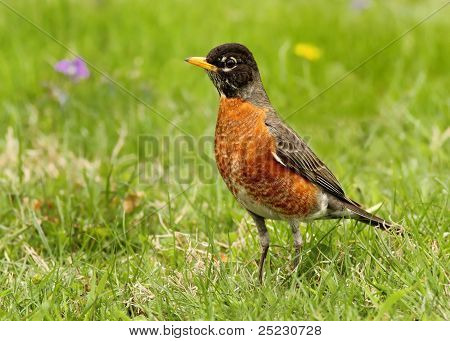 A Robin in the grass