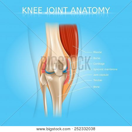 Human Knee Joint Anatomy Realistic Vector Medical Scheme With Muscles, Bones, Joint Capsule Front Vi