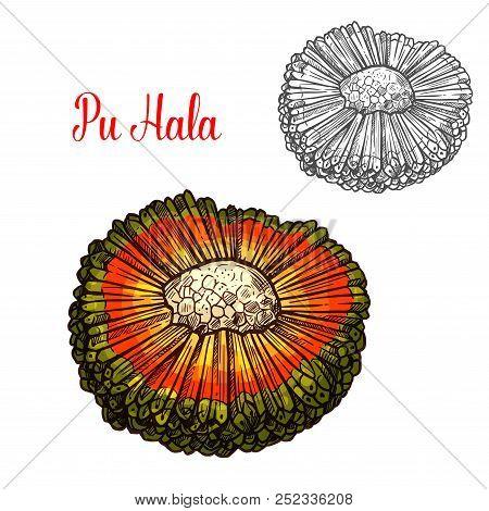 Exotic Hala Fruit Sketch With Orange Husk