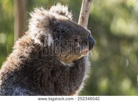 A Cute  Koala, Phascolarctos Cinereus, Sitting In A Tree