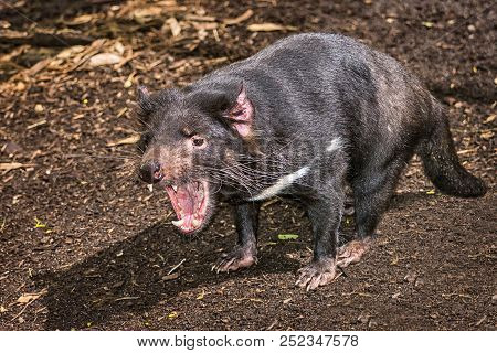 Tasmanian Devil  With His Mouth Open ~ (sarcophilus Harrisii)