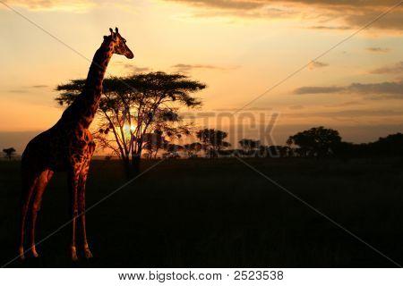 Giraffe Against An African Sunset