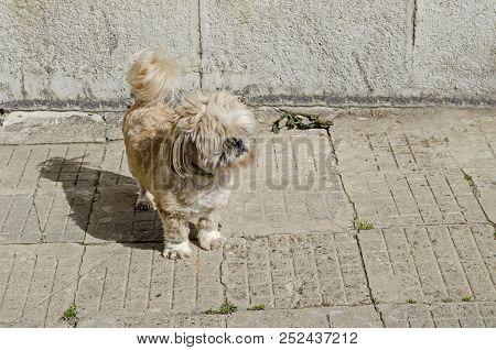 Thoroughbred Yorkshire Terrier Dog On The Street To Seek Your Proprietor, District Drujba, Sofia, Bu
