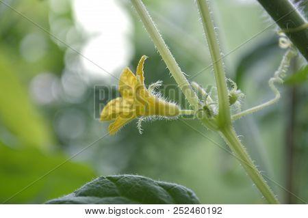 Male Cucumber Flower, Cucumis Sativus, Central Of Thailand