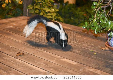 Curious Skunk In Backyard Patio - Canada