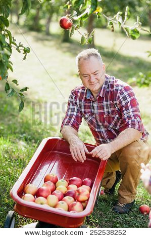 Old Man With Apple In The Orchard. Grandfather With Organic Apple In The Garden. Harvest Concept. Ga