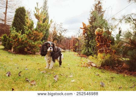 spaniel dog walking in november garden. Late autumn view with conifer and lawn with leaves