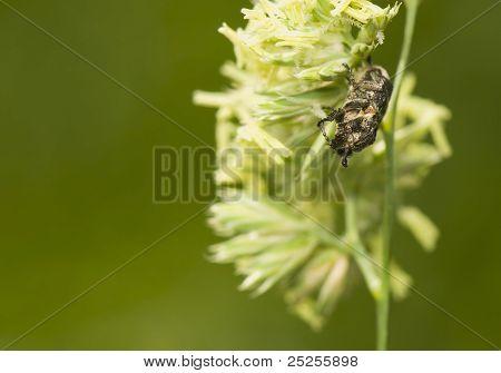 Valgus Hemipterus