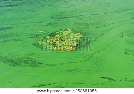 Colony Of Water Lilies Surrounded By Cyanobacterias In Dnipro River At Summer Season