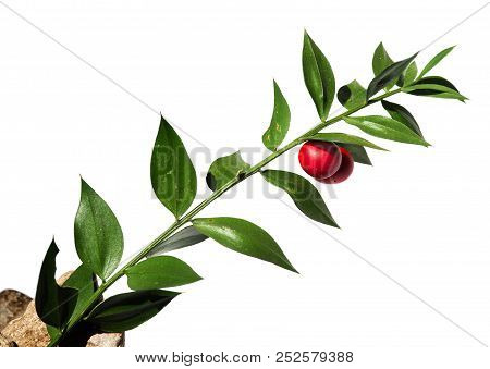 Green Twig Of Buthers-broom (ruscus Aculeatus) False Leaves With Two Red Berries/fruit Isolated Agai