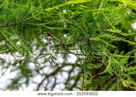Closeup Of Green Conifer Branches In Sunlight. This Image Can Be Used As Background.