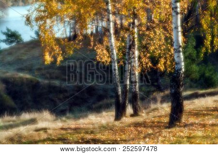 Birch Trees With Yellow Leaves On The Hillside By The River On A Sunny Day. Autumn Landscape. In Sof