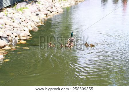 A Green Head Mallard With Hen And Small Ducklings Swimming In A Pond Of Water.