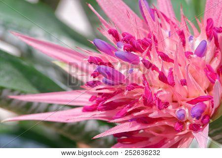 Close Up Of Bromeliad Blossom, Tropical Colorful Flower