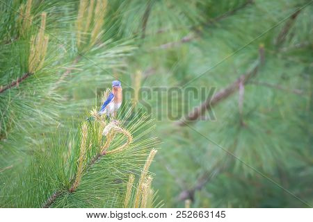 Eastern Blue Bird In The Wild In South Carolina