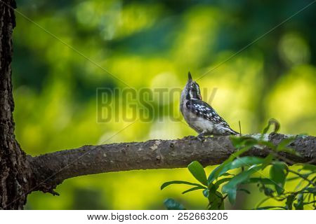 A Downy Woodpecker In The Natural Wild