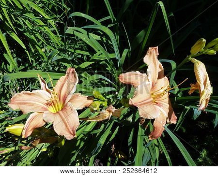 Three Pink Lilies On The Flower Bed