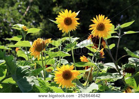 Many Yellow Sunflowers On The Flower Bed