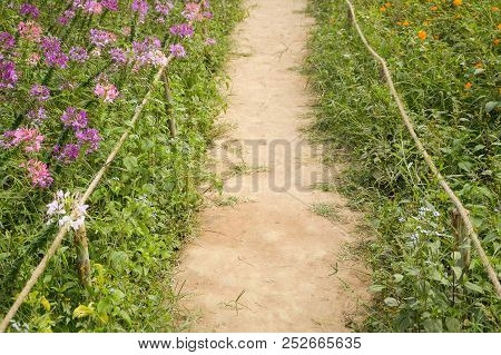Walkway Between Cosmos Sulphureus And Cleome Spinosa Flower In Nature Garden