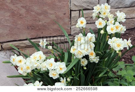 Many White Daffodils On The Flower Bed