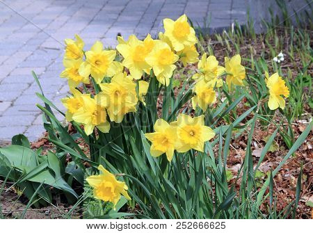 Many Yellow Daffodils On The Flower Bed