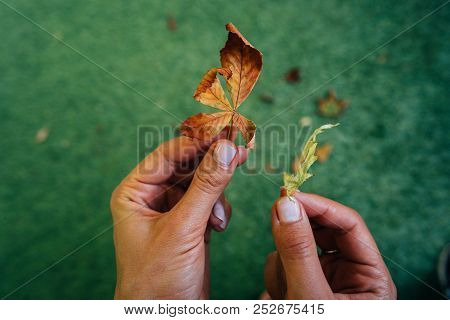 Woman Holding Two Yellow Autumn Leaves In Hands.