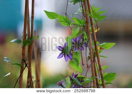 Blue flower plant on vain on bamboo sticks