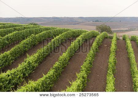 Landscape In Basilicata (italy) Near Venosa At Summer: Vineyard