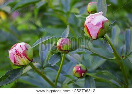 Big Beautiful Pink Buds Of Garden Peony