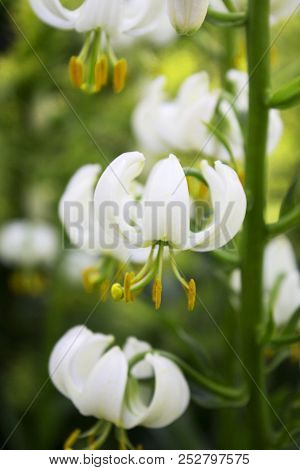 Lots Of Beautiful White Garden Faded Lilys