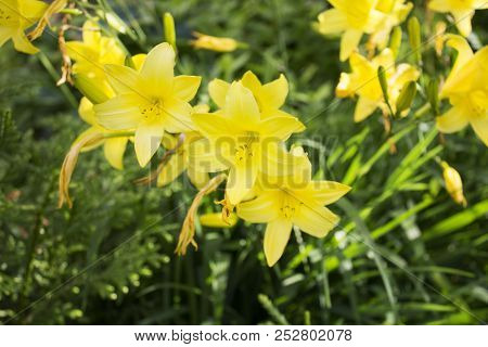 Lots Of Beautiful Yellow Garden Faded Lilys