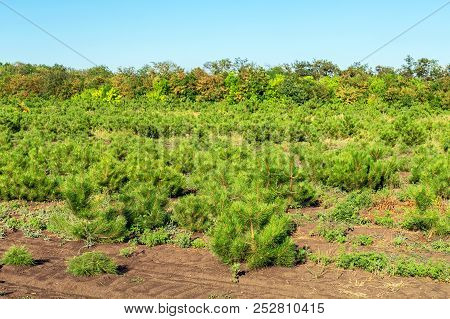 Rows Of Small Bright Pine Trees At Coniferous Nursery Garden. Growing Young Conifers At Open Air Gar