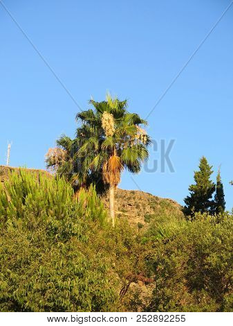 Lone Tall Finger Palm With Fruit Bodies On Sunny Hillside In Andalusian Countryside