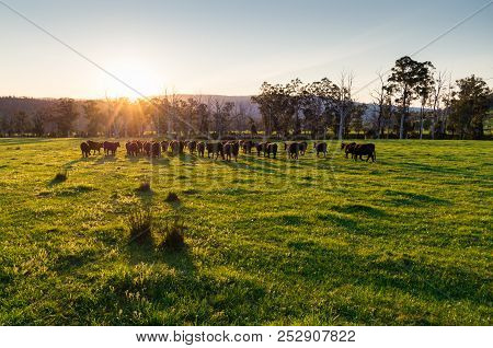Cows In A Paddock Near Marysville In The Shire Of Murrindindi In Victoria, Australia