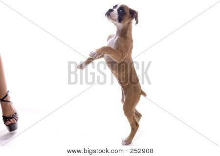 3 month old boxer puppy standing on hind legs poster