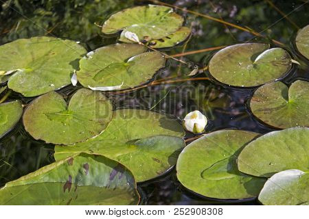 Small Quiet Pond With Water Lilies And Other Plants