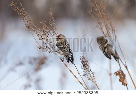Two Common Redpolls (acanthis Flammea) Perching On Dry Orach Stems With White Background. Small Brow